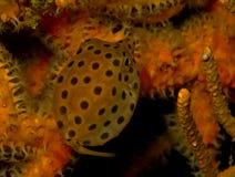 Pesce giallo della scatola Fotografia Stock