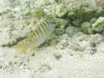 Pesce giallo delle Antille giovanili Immagini Stock Libere da Diritti