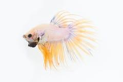 Pesce giallo di lotta Fotografia Stock Libera da Diritti