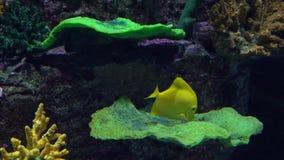 Pesce giallo luminoso della farfalla che galleggia sotto l'acqua contro il corallo video 4K stock footage