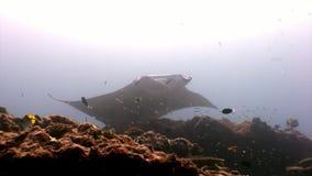 Pesce gigante della rampa della manta su fondo della riflessione Maldive subacquee del sole video d archivio