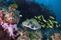 Pesce gigante della soffiatore in acqua del mare delle Andamane, Tailandia Fotografia Stock