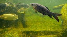 Pesce gigante di gorami nero che nuota in un acquario con acqua fangosa sporca fotografie stock libere da diritti