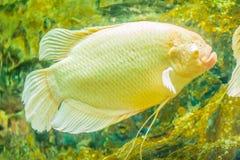 Pesce gigante di gorami nero dell'albino (osphronemus goramy), grande Na di gorami nero fotografia stock libera da diritti