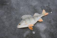 Pesce glassato che si trova sul ghiaccio del lago Fotografie Stock
