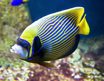 Pesce-imperatore (pesce-angelo) Immagine Stock