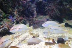 Pesce indiano dello snapper Immagini Stock