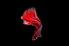 Pesce isolato di betta della mezza luna Immagine Stock Libera da Diritti