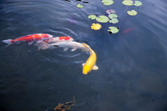 Pesce, laghi, acqua, biglietto da 5, natura, zoo Immagini Stock