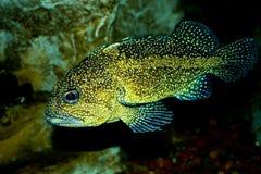 Pesce macchiato all'acquario Fotografia Stock