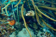 Pesce macchiato del tronco Fotografia Stock