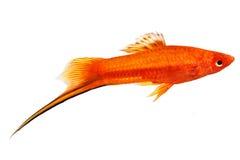 Pesce maschio rosso dell'acquario del Helleri di Swordtail Xiphophorus isolato su bianco immagine stock