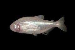 Pesce messicano dell'acquario della caverna dei ciechi tetra immagini stock libere da diritti
