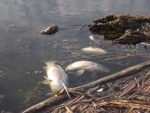 Pesce morto fotografia stock