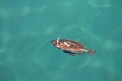 Pesce morto Fotografie Stock Libere da Diritti