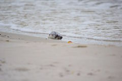 Pesce morto della soffiatore lavato su sulla riva Fotografia Stock