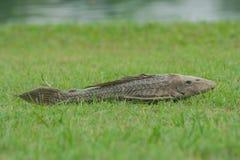Pesce morto e decomposto su erba verde con il fondo del lago Immagine Stock
