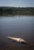 Pesce morto in lago Immagine Stock