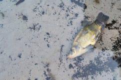 Pesce morto nell'acqua Immagine Stock Libera da Diritti