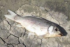 Pesce morto sulla riva dello stagno Fotografia Stock