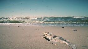 Pesce morto sulla sabbia della riva di mare Onde del mare ed uccelli del gabbiano Colpo statico stock footage