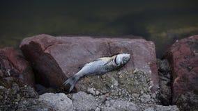 Pesce morto sulle rocce Fotografie Stock