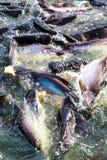 Pesce nel fiume. Immagine Stock Libera da Diritti