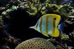 Pesce nell'acquario Immagini Stock Libere da Diritti