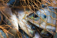 Pesce nella rete da pesca animale Fotografia Stock Libera da Diritti