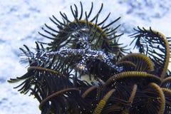 Pesce nero del tubo del fantasma che si nasconde nella crinoide, baia di Sogod, cappellano Burgos, Leyte, Filippine, Asia Fotografia Stock Libera da Diritti