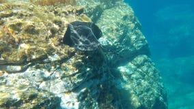 Pesce nero della manta, nuotante sulla chiara acqua Fotografia Stock