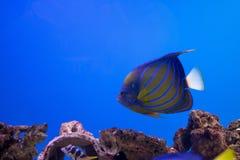 Pesce oceanico nell'acquario fotografia stock libera da diritti