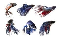 Pesce ofSiamese di combattimento del gruppo, beta pesce su fondo bianco Fotografia Stock