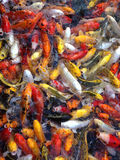 Pesce operato della carpa, pesce di koi Immagini Stock