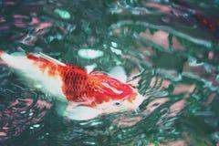 Pesce operato della carpa vago estratto, pesce di koi, nuotante nello stagno immagini stock