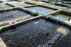Pesce ornamentale della scuola materna dell'azienda agricola d'acqua dolce nella diffusione del sistema di acquacoltura Fotografia Stock Libera da Diritti