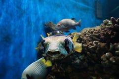 Pesce palla Immagine Stock