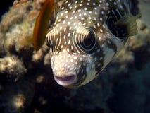 pesce palla Bianco-macchiato (hispidus di Arothron). Fotografia Stock