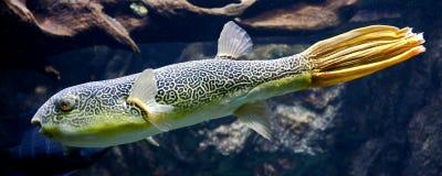 Pesce palla d'acqua dolce 6 Fotografia Stock