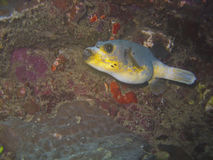 Pesce palla di Blackspotted immagine stock