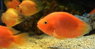 Pesce pappagallo fotografia stock libera da diritti