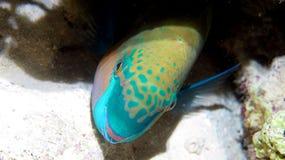 Pesce pappagallo arrugginito Fotografie Stock Libere da Diritti