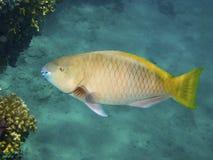 Pesce pappagallo giallo Fotografia Stock