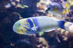 Pesce pappagallo tropicale Fotografia Stock
