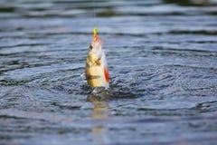 Pesce persico attivo che pesca una micro maschera di estate Immagine Stock Libera da Diritti