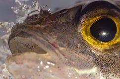 Pesce persico dell'occhio di pesce Immagine Stock