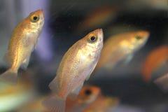 Pesce persico giapponese Immagine Stock