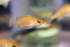 Pesce persico giapponese Fotografia Stock Libera da Diritti