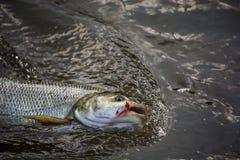 Pesce pescato disegnato alla riva fotografia stock libera da diritti