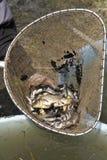 Pesce pescato nella rete Fotografie Stock